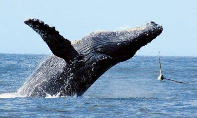 【旅人終極Bucketlist】 觀鯨 導賞團 7 Best Whale Watching Experience