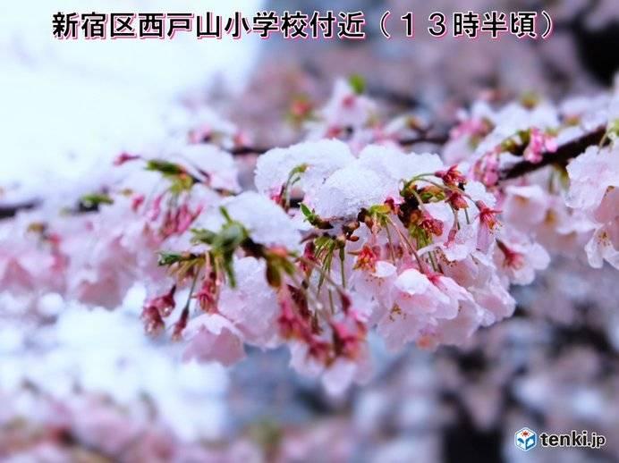【日本櫻花】東京昨日迎來51年一遇雪櫻絕景!雪中滿開櫻花景象