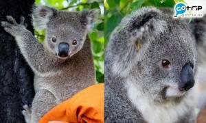 【澳洲山火】首批燒傷樹熊康復出院 26隻樹熊可以回歸棲息地!