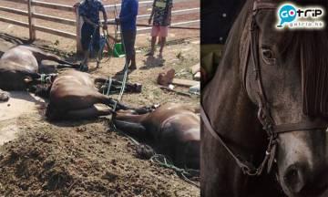 泰國爆非洲馬瘟 病毒傳播快感染馬匹9成死亡!死前流血淚!