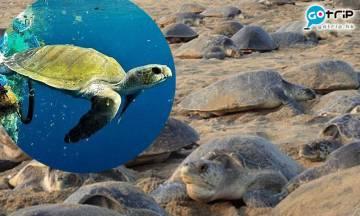 武漢肺炎動物重生!印度1周28萬隻瀕危海龜白天上岸產卵