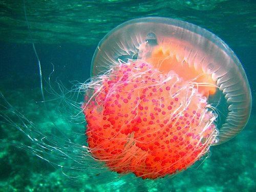 菲律賓海灘現奇景 數千隻「粉紅水母」浮上海面!原因是這個?