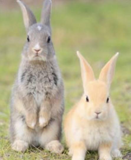 疫情令遊客大減 以致日本兔島大久野島的兔子出現缺糧及缺水危機