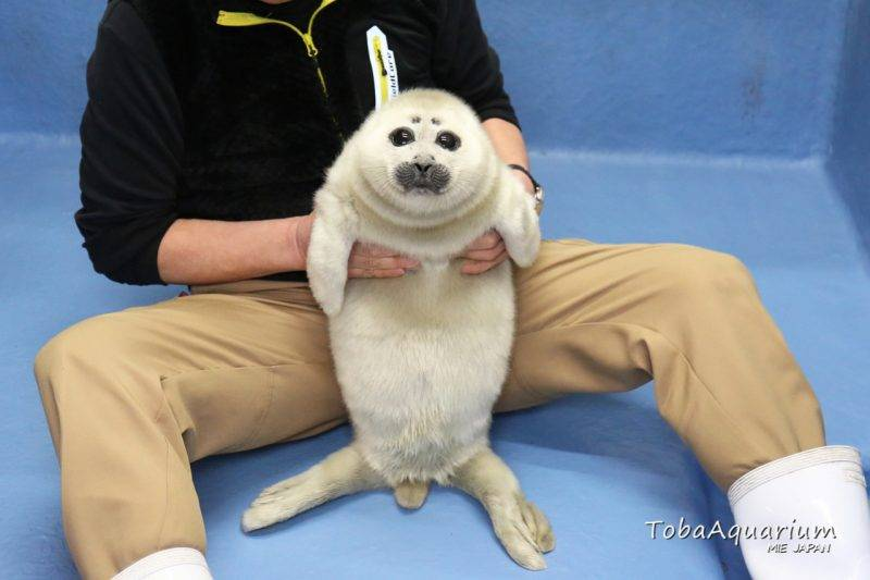 小海豹可愛模樣日本爆紅!水族館抗疫兩月竟變厭世大叔......