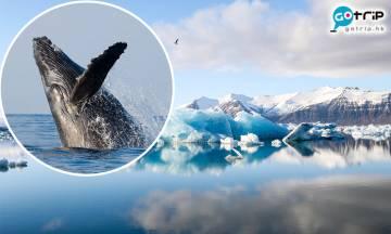 【新冠肺炎】冰島兩間捕鯨公司 宣布今年將會暫停捕鯨!其中一間將永久停止捕鯨!