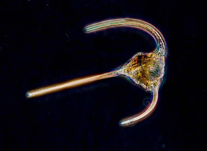 雙鞭毛蟲 (dinoflagellata) (圖片來源:網上圖片)