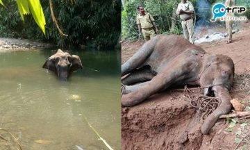 印度男殘忍虐待動物 大象被餵食炸彈菠蘿慘死!
