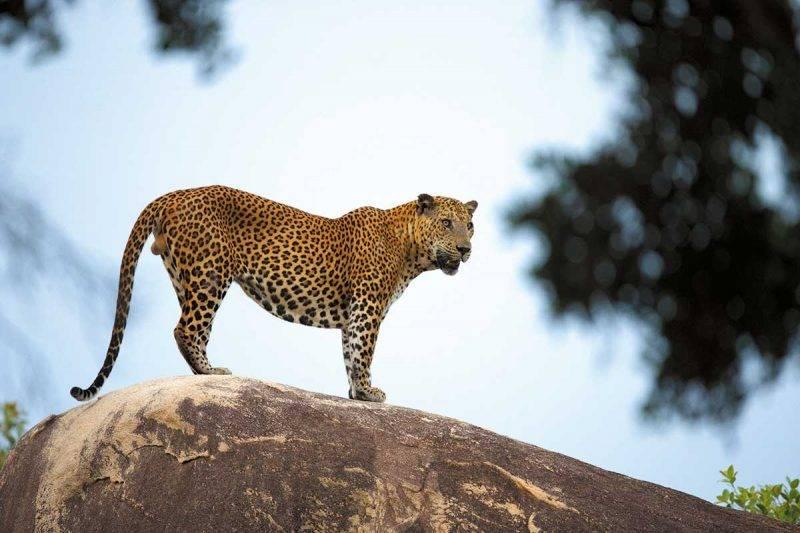 斯里蘭卡的花豹身形較大隻,在國家公園 中,以第一區較易看到牠們的蹤影。