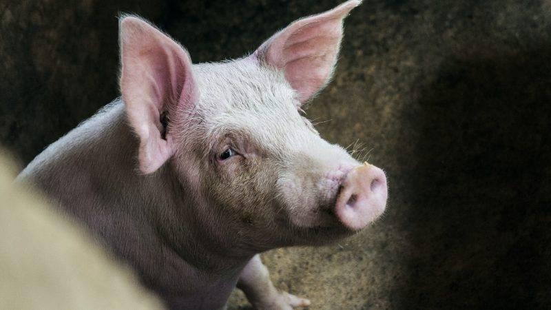 內地, 中國, 專家, 新型豬流感病毒G4, 人傳人