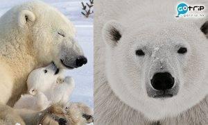 北極熊, 絕種, 自然氣候變遷, Nature Climate Change, 全球暖化