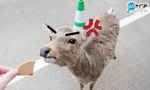【奈良餵鹿教學】奈良旅遊常被鹿群攻擊?擺脫鹿仔猛撞必學兩招餵鹿秘訣