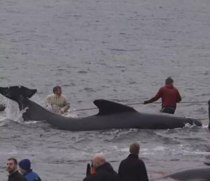 用繩包圍及綑綁他們,強行拉他們上岸。(圖片來源:Sea Shepherd)