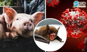 新冠狀病毒Sads-CoV豬間傳播 與新冠肺炎同源頭 或會跨物種感染人類