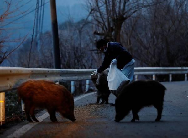 最近因為放生野豬遭逮捕,幸好有其他義工幫忙(圖片來源:取自路透社/達志影像)