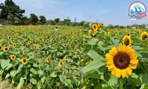 元朗信芯園向日葵花海盛開!近幾萬枝太陽花 仲有香檳色向日葵