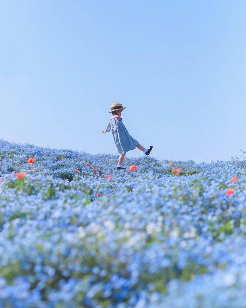 大阪舞洲百合園變身而成的粉蝶花名所