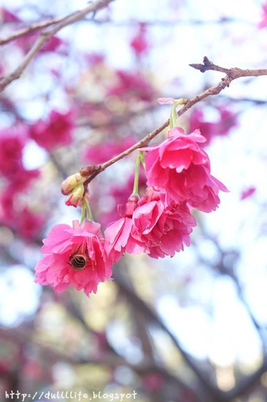櫻花 , 長洲